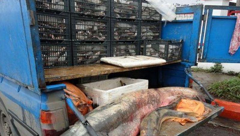 معدوم سازی 210 کیلوگرم ماهی فاسد در اردستان