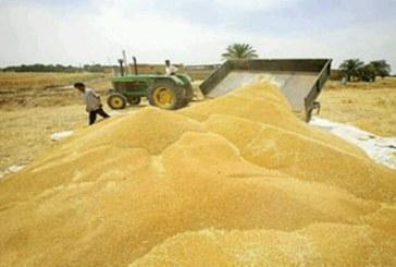 ۱۷۰ هزار تن گندم از کشاورزان استان اصفهان خریداری می شود